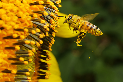 Bee At Working Stock Photo - Download Image Now