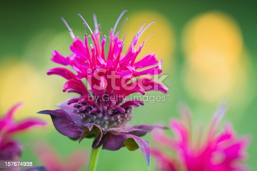 Blooming Bee Balm (Monarda) in a flower garden.