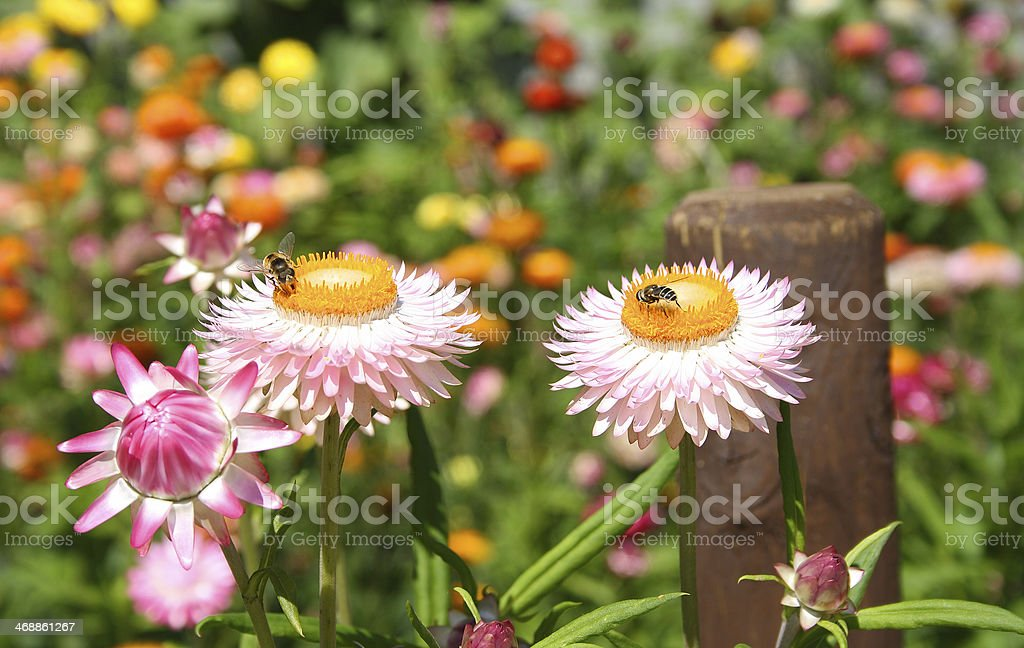 Bee Bees Resting on Pink Flowers stock photo
