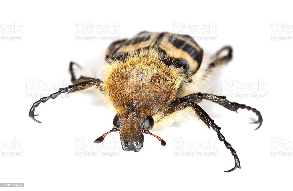 Bee beetle (Trichius fasciatus) isolated on white background. royalty-free stock photo