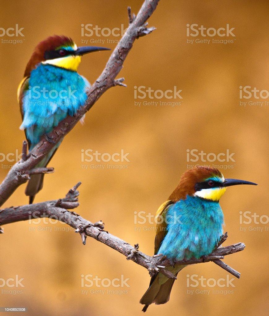 bee birds stock photo