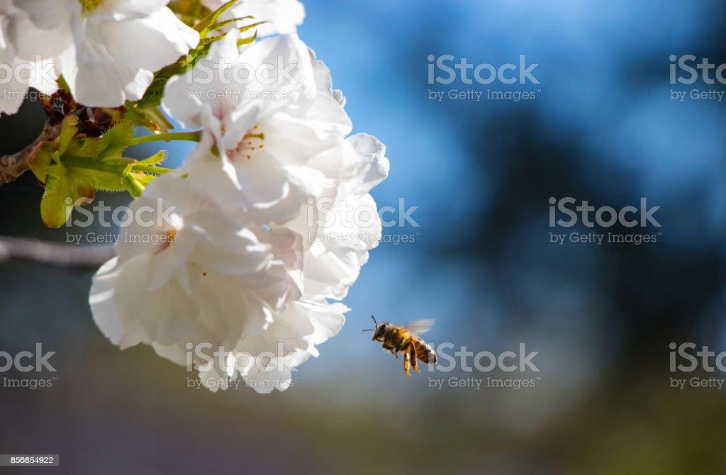 Bee & cherry blossoms stock photo