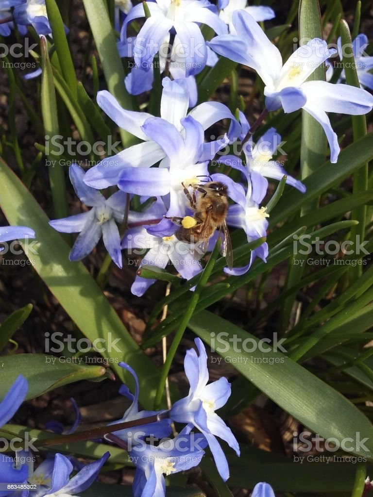 Bee Clnging to Blue Flower stock photo
