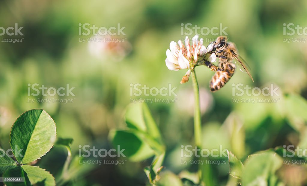 Bee close up in the field stock photo