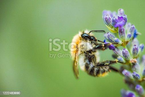 istock bee collect honey 1222483690