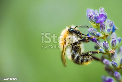 Bee on the lavander flower collect honey