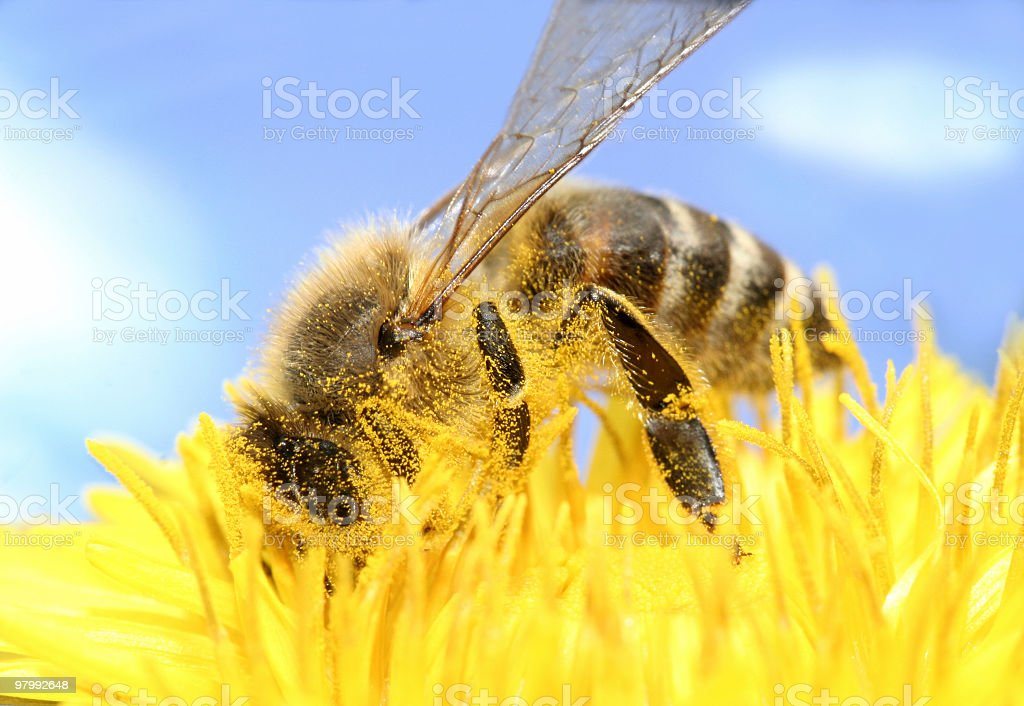 Bee collecting honey royalty-free stock photo