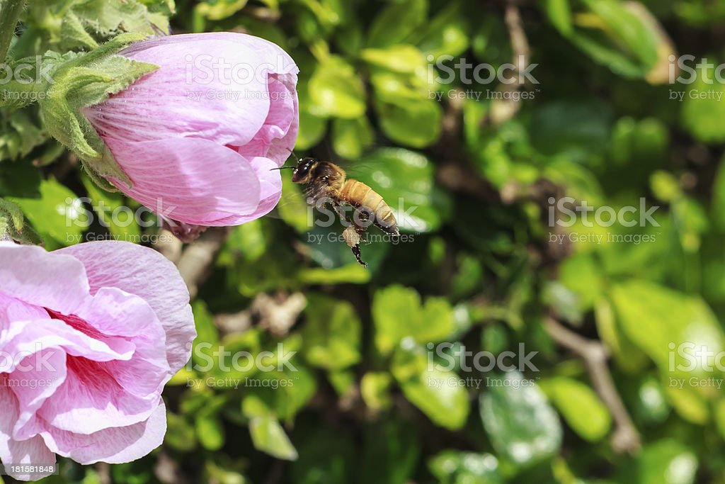 Bee collecting Nectar and Pollen from attractive Pink Hollyhock royalty-free stock photo