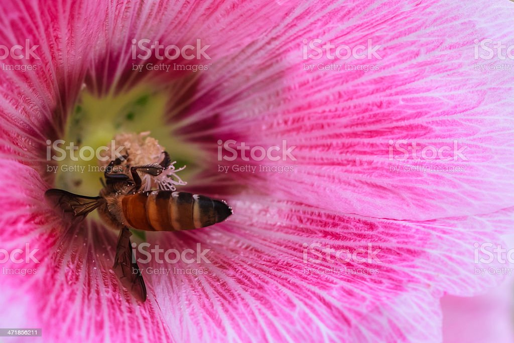 Bee collecting Nectar and Pollen in Pink Hollyhock Flower, Closeup stock photo