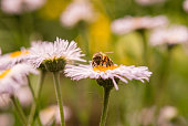 A bee collecting nectar from a chamomile flower on a daisy field in the sunlight. Summer Daisies. Beautiful nature scene with blooming medical chamomiles and honey bee.