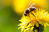 Closeup shot of a bee collecting nectar from a dandelion. Selective focus on bee