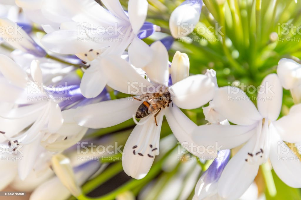 Bee Collecting Nectar From An Agapanthus Flower On A Sunny Morning Stock Photo Download Image Now Istock