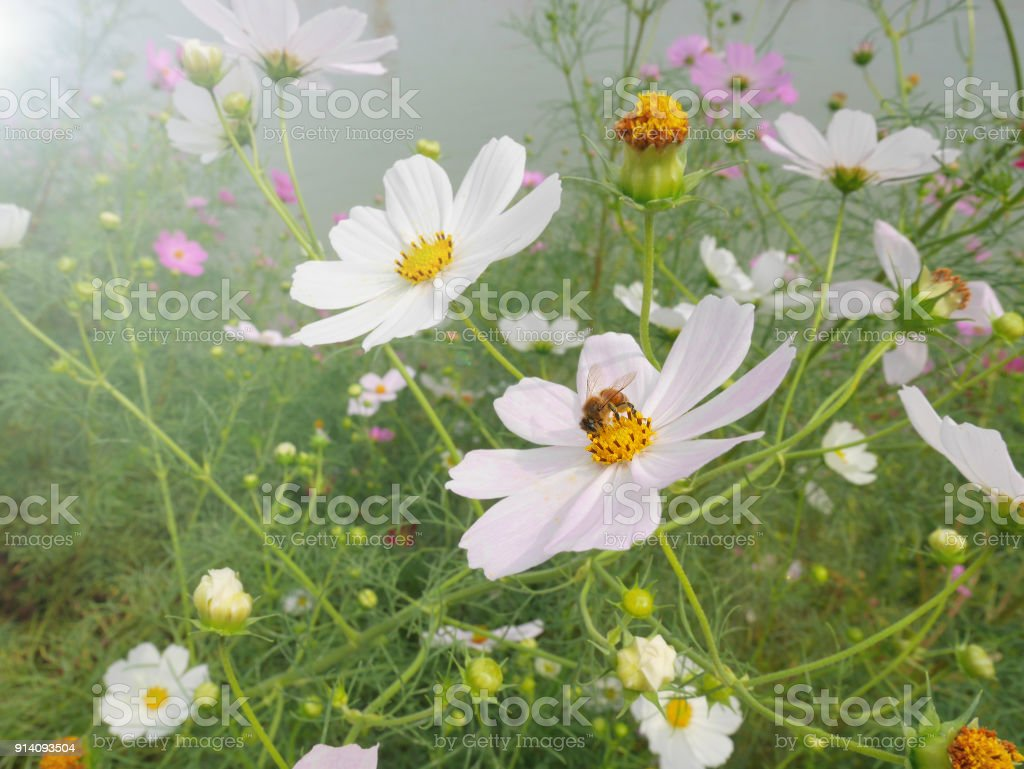 Bee collecting nectar from white cosmos flower with yellow pollen in bee collecting nectar from white cosmos flower with yellow pollen in cosmos flower fields there mightylinksfo
