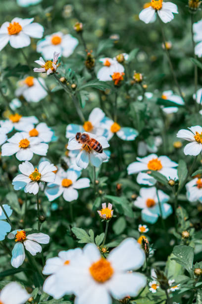 Bee collecting nectar on a  field of daisys stock photo