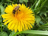 Bee collecting nectar on a flower of dandelion