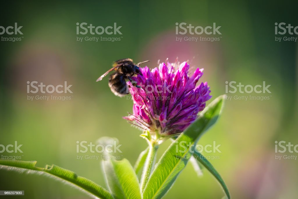 Bee collecting nectar on the pink clover zbiór zdjęć royalty-free