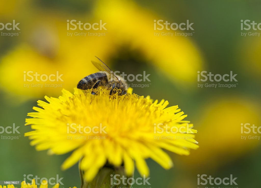 Bee collecting nectar royalty-free stock photo