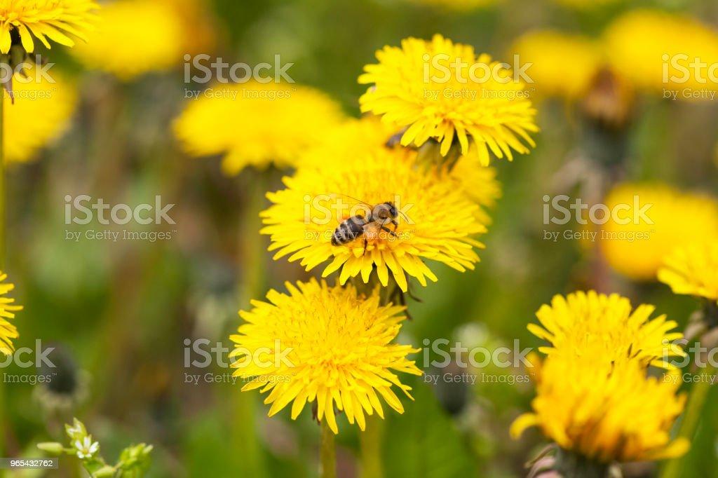 Bee collecting nectar zbiór zdjęć royalty-free
