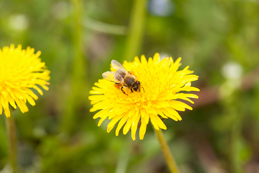 Bee Collecting Nectar Stock Photo - Download Image Now