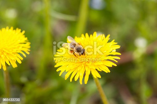 Bee Collecting Nectar Stock Photo & More Pictures of Beauty In Nature