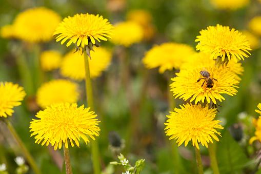 꿀벌 수집 넥타 0명에 대한 스톡 사진 및 기타 이미지