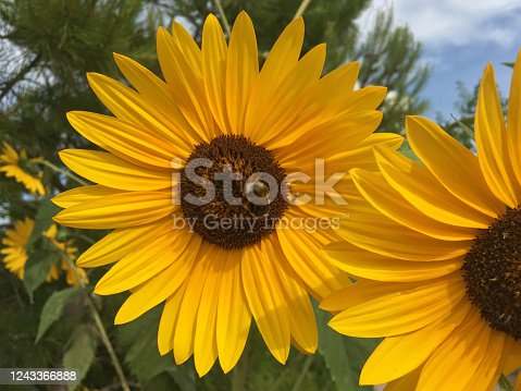 Close up view of bee over sunflower