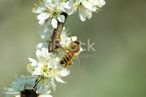 Bee collecting pollen from a white flower in spring