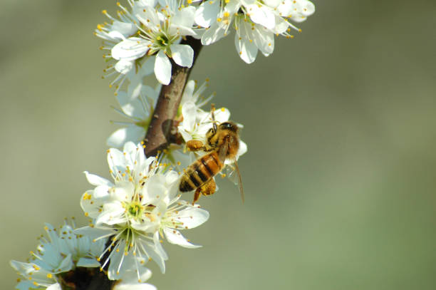 Bee collecting pollen from a white flower in spring - foto stock