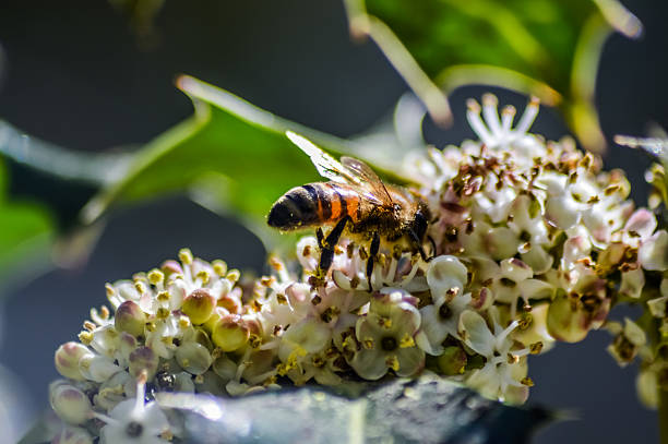 bee collecting pollen from holly flowers macro - beinhülsen stock-fotos und bilder