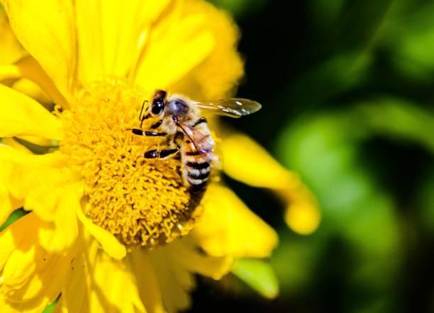 bee collecting pollen from yellow cowpen daisy flower - seltene pflanzen stock-fotos und bilder