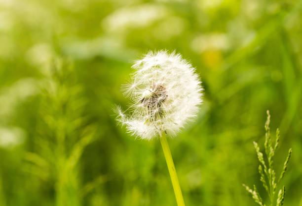 Eine Biene sammeln Pollen von a Stängel Lavendel – Foto