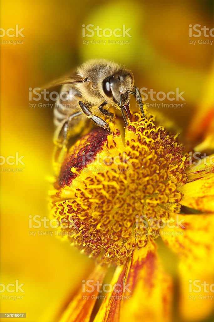 Bee collecting pollen on orange flower stock photo