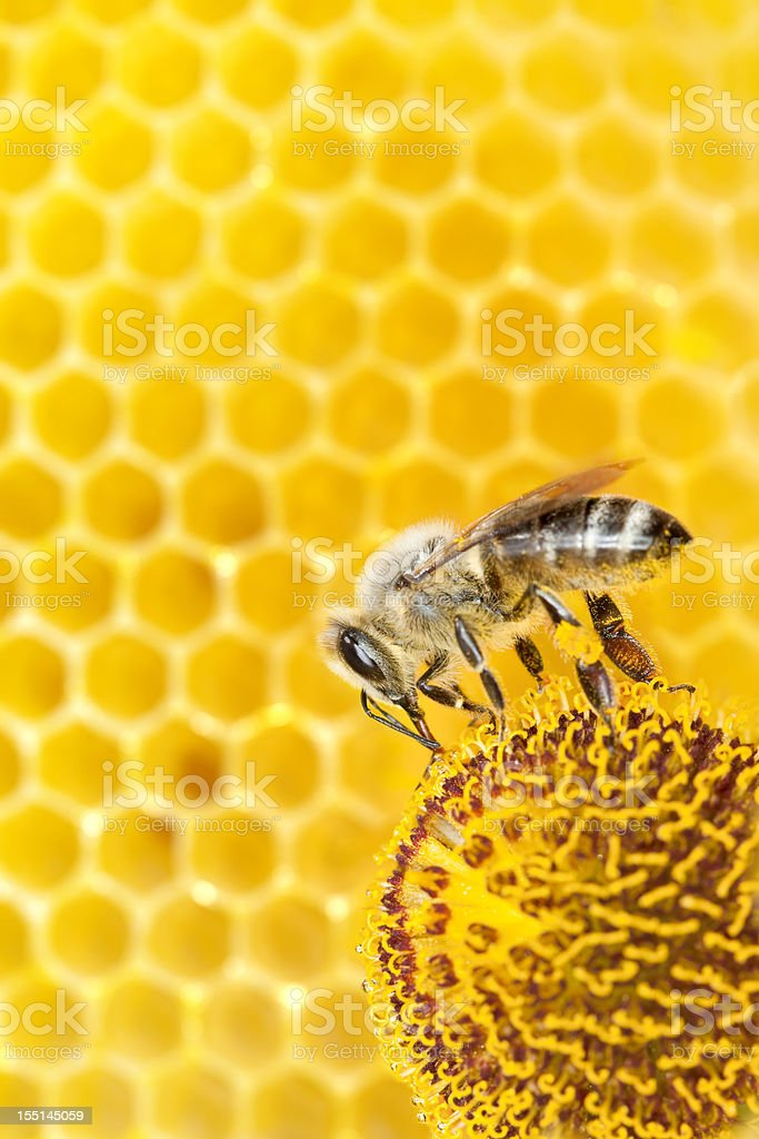 Bee collecting pollen on orange flower with honeycomb stock photo