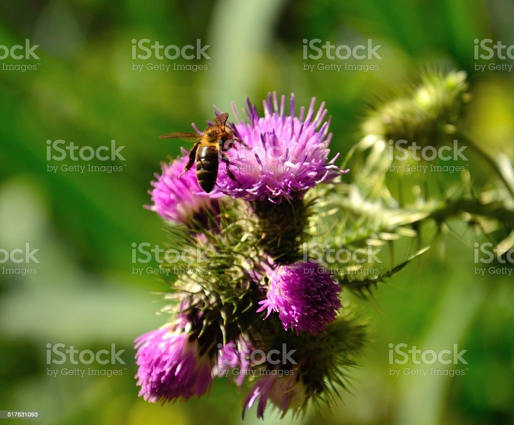 Bee collecting pollen on the flowers of wild thistle stock photo