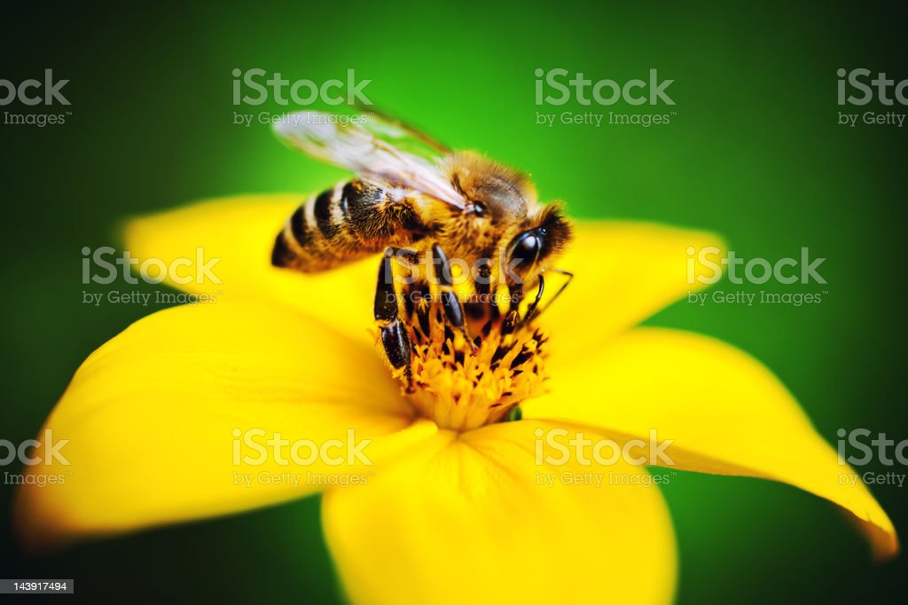 Bee Collecting Pollen stock photo