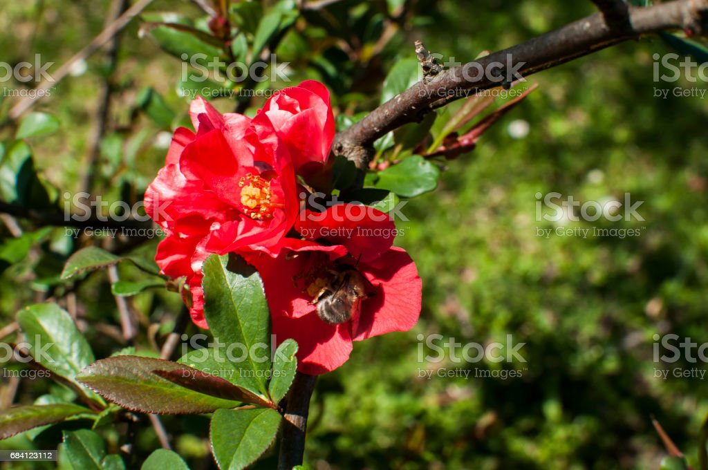 Bee collecting pollen foto stock royalty-free