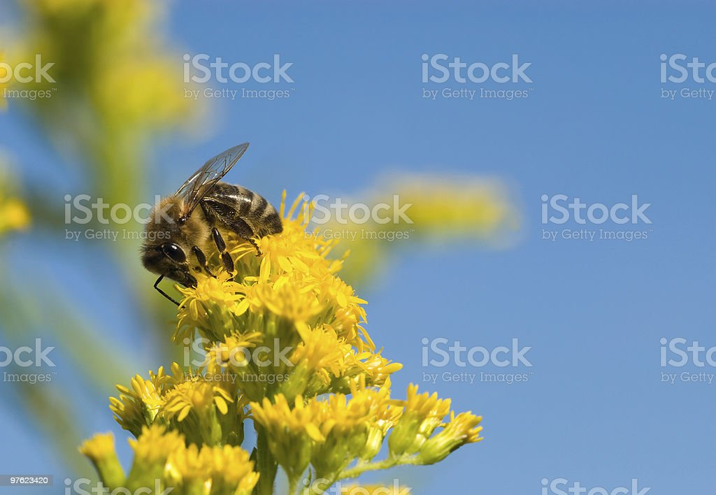 Bee collecte de pollen photo libre de droits