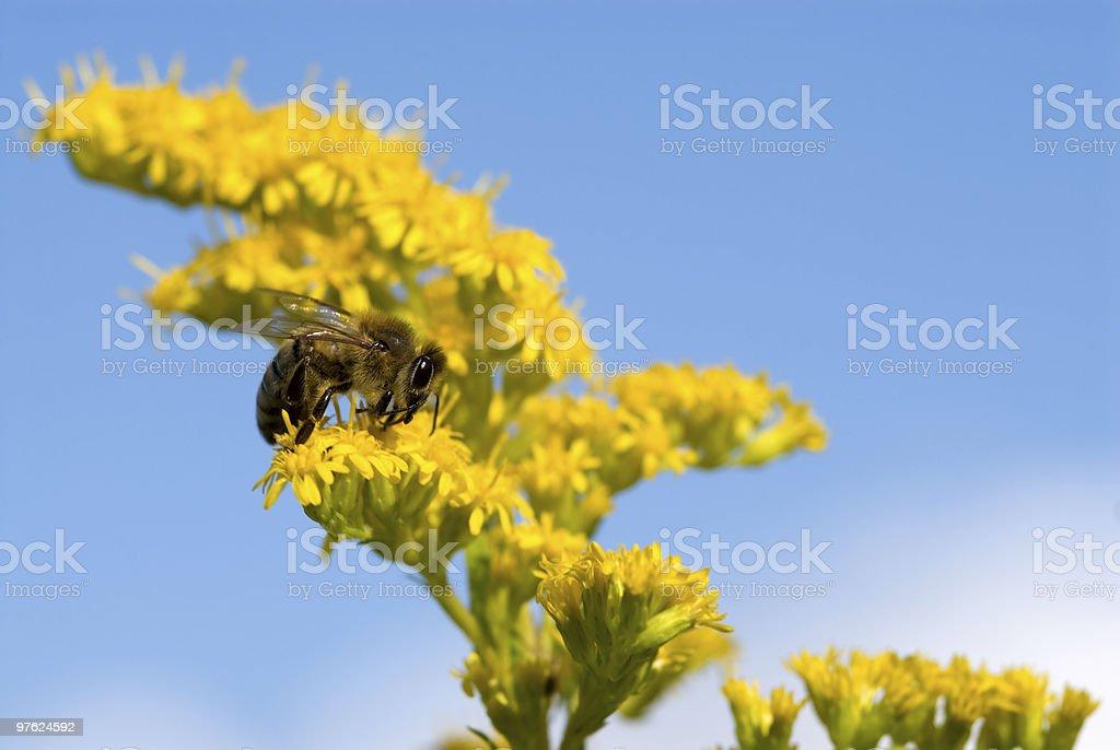 Bee collecting pollen royaltyfri bildbanksbilder