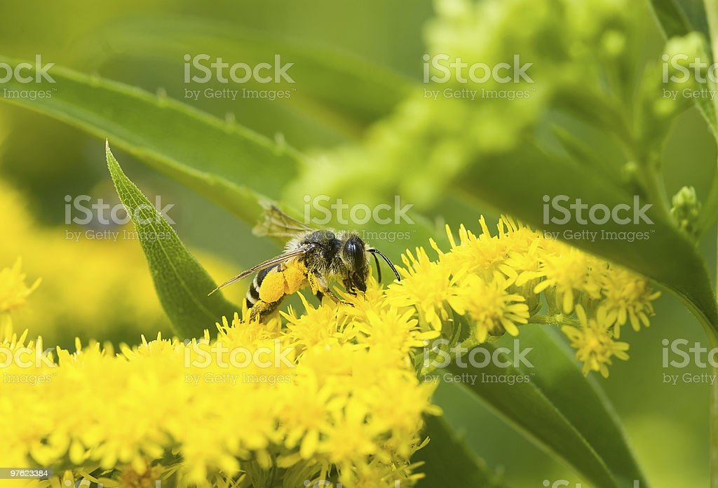 Bee collecting yellow pollen royalty-free stock photo