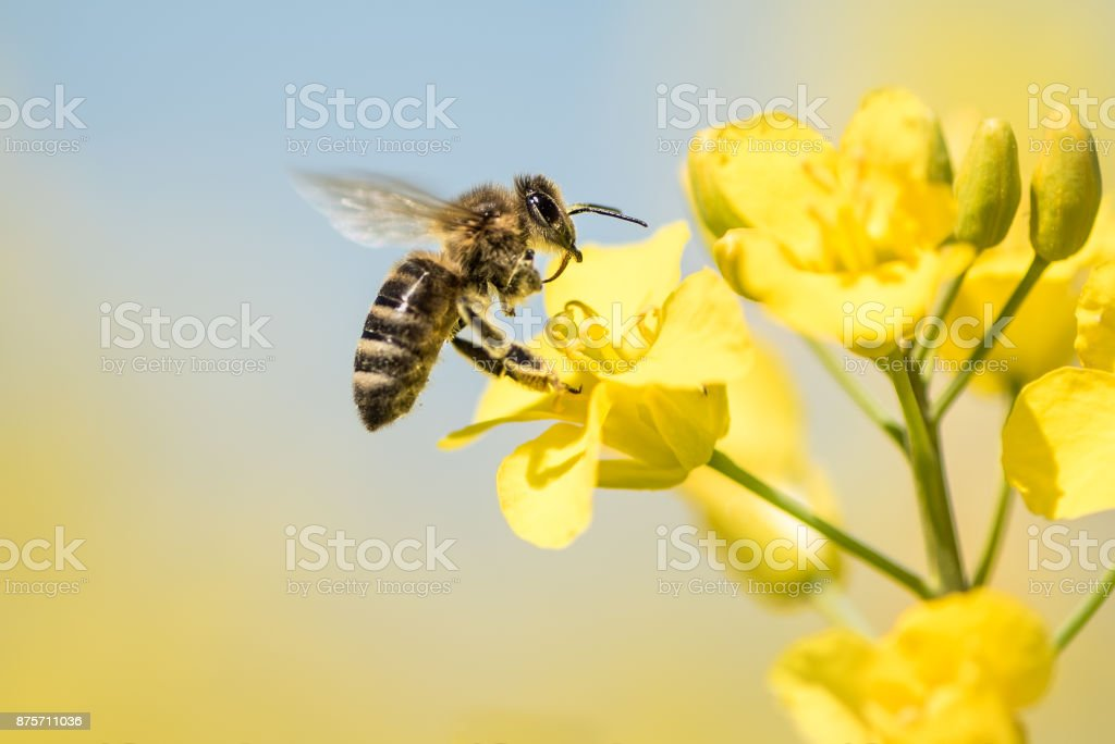 Bee collects honey - rape blossom in spring stock photo
