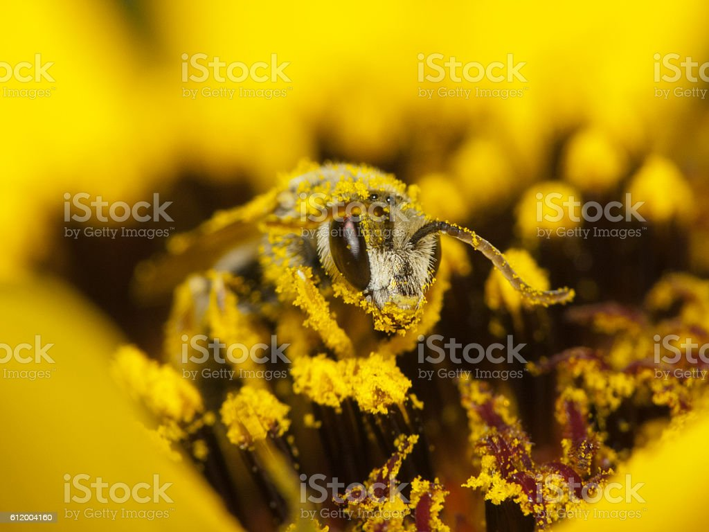Bee collects nectar and pollen stock photo