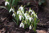 A bee collects nectar from a snowdrop bush. Spring white flowers, background