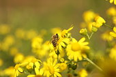 A bee collects nectar from a yellow wildflower. Macro of an insect on a plant with a blurred background. Harvesting. Pollination of plant flowers. Flora and fauna of the temperate region. Natural