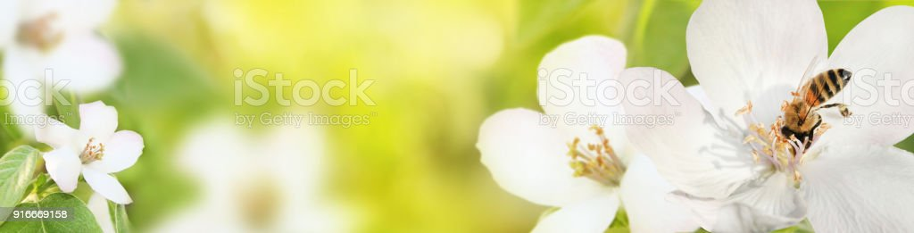 Bee collects nectar (pollen) from the flowers of a flowering quince (Cydonia oblonga) on a green and yellow blurred background of nature, a banner for the site stock photo