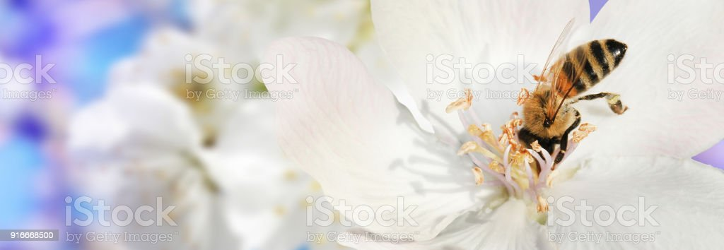 Bee collects nectar (pollen) from the white flowers of a flowering quince (Cydonia oblonga) on a  blurred background of nature and sky, a banner for the site. Panorama. Blurred space for text. Skinali. stock photo