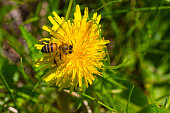 Bee collects nectar on yellow dandelion