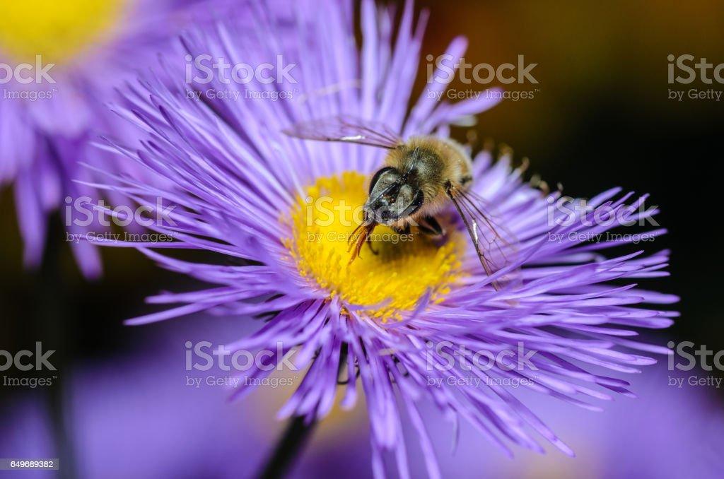 Bienen sammeln Nektar  – Foto
