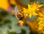 A bee collects pollen from a flower Sedum acre on a Sunny day in Greece
