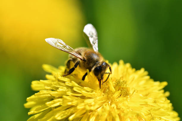 Bee collects pollen from a yellow flowering dandelion stock photo