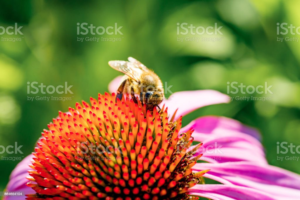 Bee collects pollen from purple flower, Close-up stock photo